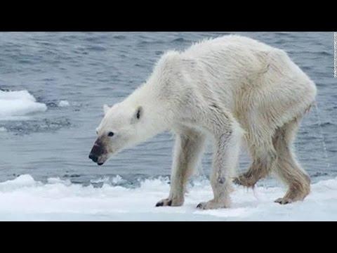 Polar Bear Starving From Global Warming