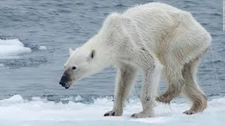 Thumbnail for Polar Bear Dying From Global Warming