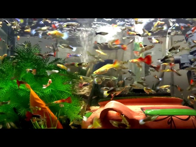 The best way to feed million guppy Guppiesfish in your aquarium tank