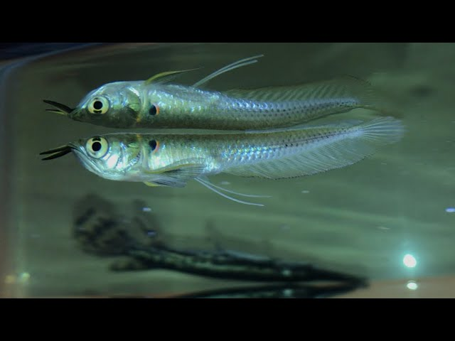 Majestic AROWANA'S FOR MY AQUARIUM (MUST SEE)