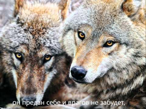 Волк - песня