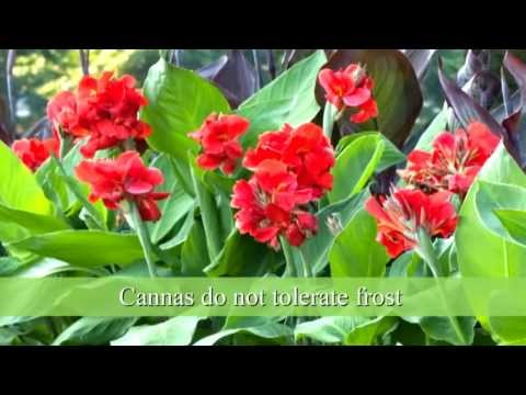 How to Plant Canna Bulbs