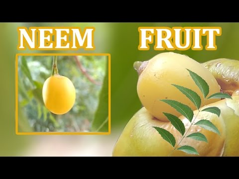 Video NEEM FRUIT / neem seed / neem oil - full details