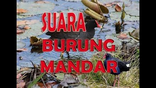 SUARA BURUNG MANDAR