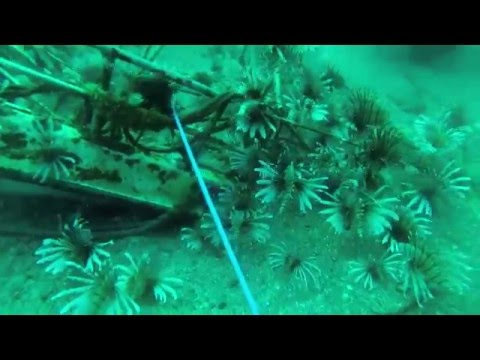 Video Lionfish Removal Apalachicola