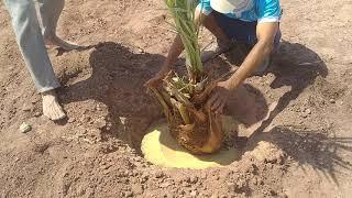 طريقه من طرق زراعة النخيل الصعيدى أو يقال عليه سيوى في الأراضي الطفليه 01140727573