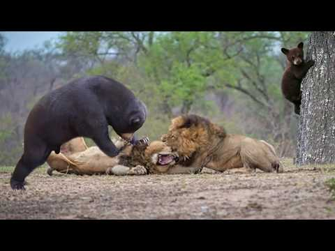 Lion Of The Andes Fail | Mother Gizzly Bear Save Baby From Puma Hunting