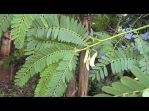 Video Sesbania Grandiflora  (Avisa)