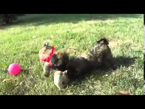 NATURAL tail!  Mini (20-30lbs) Whoodle!  Roxi