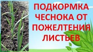 Подкормка лука и чеснока весной народными средствами
