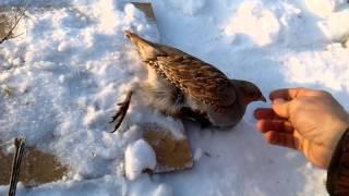 Как поймать куропатку осенью без ружья