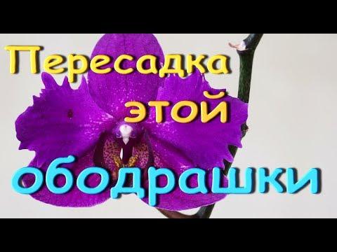 ОБОДРАННАЯ орхидея:КОРНИ и ПЕРЕСАДКА.
