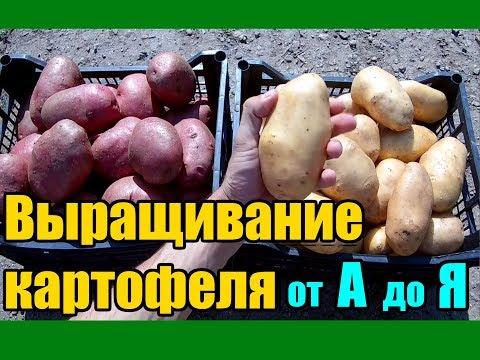 Выращивание картофеля от А до Я