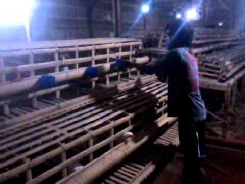 Video Peluang usaha ternak ayam arab petelur,perawatan kandang bagian 1