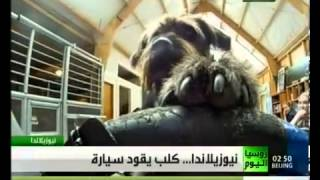 كلب يقود سيارة في نيوزلندا – فيديو