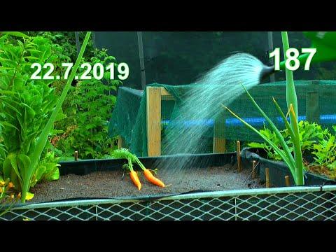 Ab in den Garten Kürbis wächst zu stark / Möhrchen Aussaat im Juli und etwas mehr