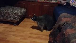 Raccoon froze when he saw himself in the mirror