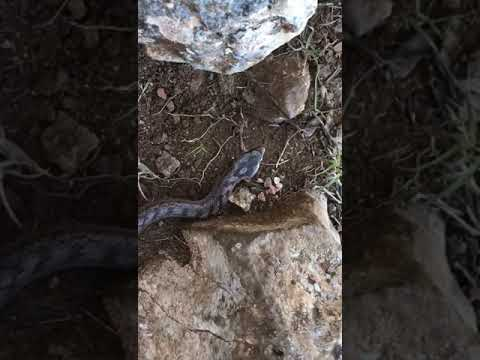 Culebra lisa meridional