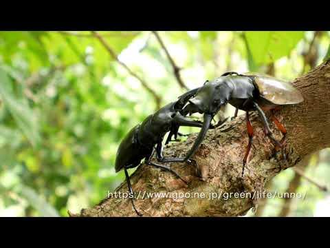 マレーシアのクワガタの闘い Stag beetle fight in Malaysia