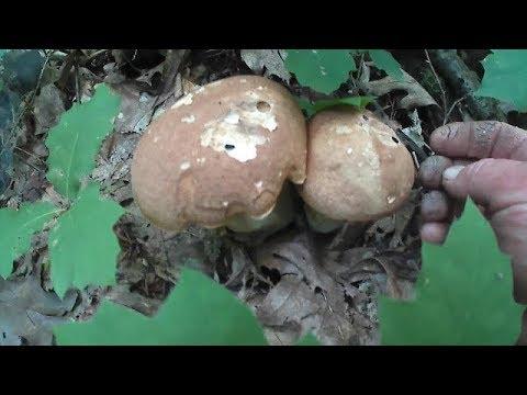 Гриби Білі 2018 Грибы белые 2018 Mushrooms White 2018