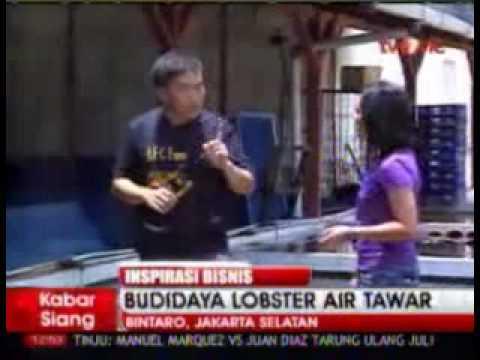 Video inspirasi bisnis budidaya lobster air tawar