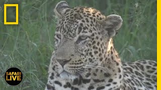 Safari Live - Day 312   National Geographic