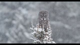 Harry Potter Birds- Great Gray owl, Burrowing Owl and Snowy Owl || Wild Canada ||