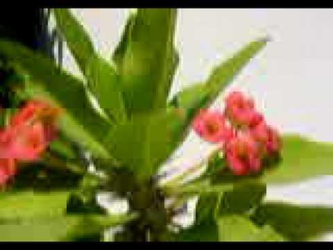 Video Euphorbia