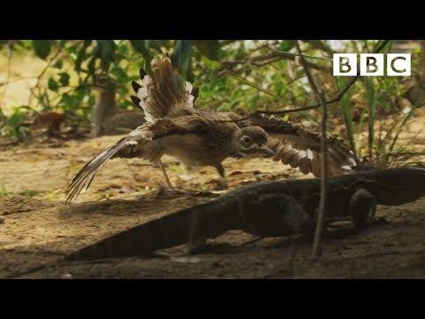 Dytíci chrání krokodýla