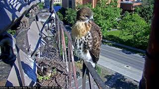 """Recently Fledged """"J2"""" Returns to the Cornell Red-tailed Hawk Cam and Watches Sibling Fledge"""