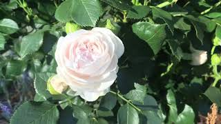 David Austin Roses And Kordes Roses- Front Garden Tour Update