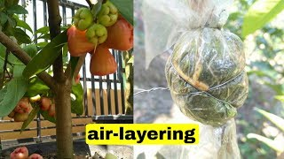 Water Apple (ambo Plant) Air Layering Propagation With Soil Successfully.