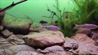 Akwarium biotopowe. Płycizna rzeki Huaijiu, Pekin, Chiny