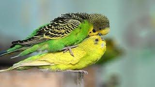 Budgies Parrots Mating Video | Budgies Breeding Season | Birds Love