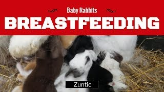 Rabbit nursing two weeks old baby bunnies - mother rabbit breastfeeding