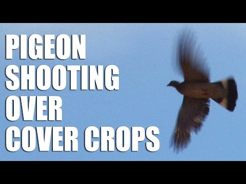 Pigeon Shooting over Cover Crops