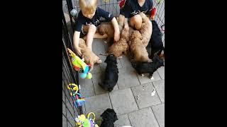 Cavapoo Puppies Videos