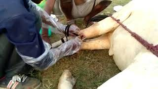 Treatment of injured cows at Shri Shyam Sunder Gaushala