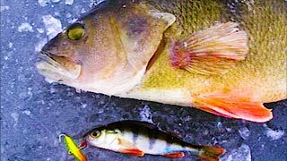 ПОЛОСАТЫЕ РАЗРЫВАЮТ БАЛАНСИР!!! Зимняя рыбалка 2018. Раздача, Ловля крупного окуня на Балансир.