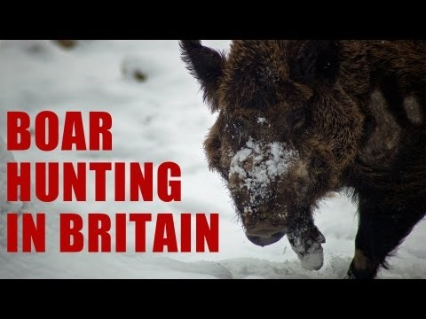 British Wild Boar II… the sequel