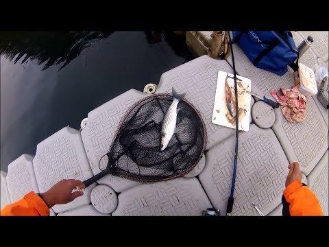 Multefiskeri med makrel som agn