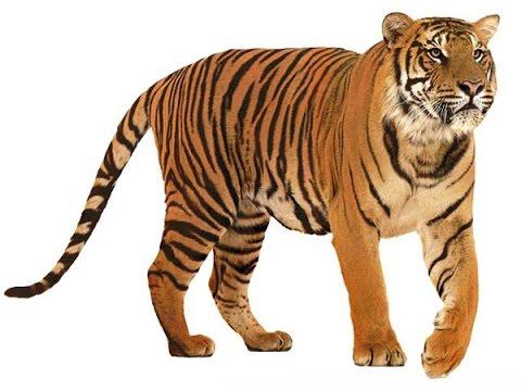 Мой братан - тигр!