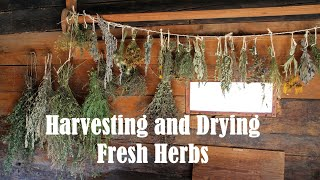 Harvesting And Drying Herbs.