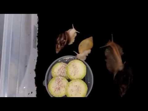 Подготовка кокосового субстрата для улиток ахатинов