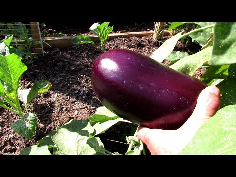 , title : 'The 2 Keys to Successfully Growing Eggplants: Manage Flea Beetles & Slow and Low Organic Fertilizing