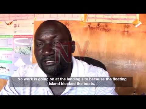 Floating island threatens Jinja fish farms
