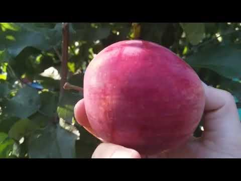 Яблоня Орловское полосатое, дегустация