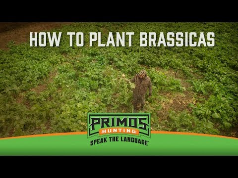 When to Plant Brassicas video thumbnail