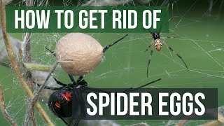 How to Get Rid of Spider Eggs (4 Easy Steps)
