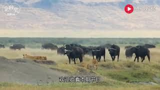 史上最惨烈动物大战,狂暴雄狮大战非洲水牛,战斗场面极度惨烈,血腥